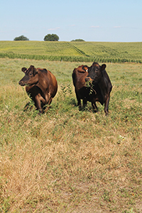 Cows_3