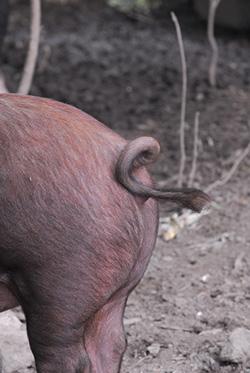 Piggy Tail