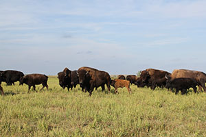 Dave believes in keeping all ages of bison together, so the elder bison can teach the calves how to live like true ranging bison.