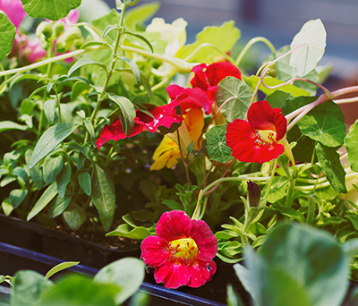 Nasturtiums thrive in the greenhouses of Blooms Organics. The flowers and leaves are edible and have a peppery flavor.