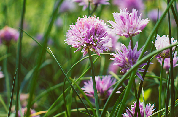 The pink blooms on chive plants can be added to salads for a pungent-chive taste.