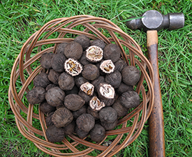 Black walnuts offer a wealth of creative possibilities for foragers.