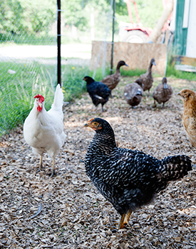 Chickens and ducks are part of the farm's future plans to offer eggs as an add-on product in their CSA program.