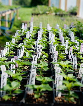 Seedlings in the one of two greenhouses wait their turn to be planted in the field.