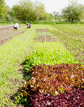 Terra Hall and Nick Bonham carefully tend to the field with salad mix.