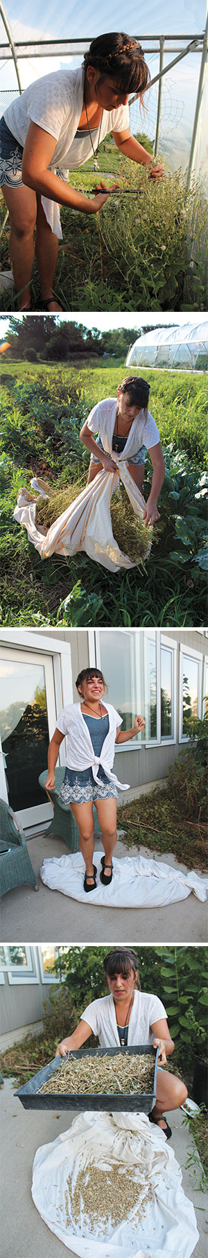 Top: Seed-saving begins in the field where Betsy carefully clips the stems of cilantro.After clipping the stems, Betsy places them on a white bedsheet (second photo) and gathers it up to bring the plants inside for drying, which can take several days. In the third photo, Betsy stomps on a bundle of dried radish seedpods and leftover brown twigs. Her dance breaks the dry pods, causing them to release the seeds within. Bottom: After most of the pods have burst, Betsy uses screens to sift out the extra pieces of radish plant, leaving a layer of brownish-red seeds.