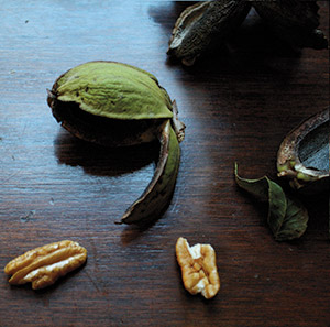 Northern pecan cultivars create smaller nuts with higher oil content than their Southern cousins. This means the nuts, for the most part, can handle a colder climate, although to what degree remains a discovery process.