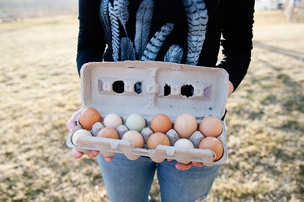 Each family member chose their own breed of chicken. Angie wanted uniquely colored eggs, so she chose Easter Eggers, and Randy wanted a good old-fashioned egg producer, so he chose a variety called Plymouth Rock.