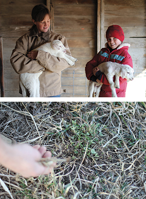 Top: Late winter is lambing season, and during my visit the entire family took great joy in moving among the ewes and lambs, some of whom were only a couple of days old. Bottom: Dustin Koyle points to emerging clover and legumes in late winter on the southwestern extent of the farm's pasture. The family practices managed intensive rotational grazing, where animals eat their fill on one part of the farm, and then are moved somewhere else so that the first grazing patch can recover.