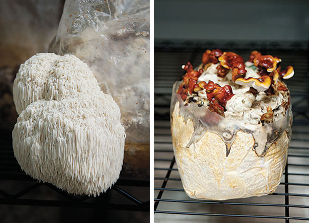 Left: The lion's mane mushroom is one of the most interesting looking and strangely beautiful mushrooms with its flavor most often described as like crab or lobster. Right: The unique formations of the reishi mushroom are quite striking and have been used for thousands of years as a traditional medicine in many Asian cultures.